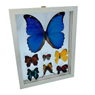 Taxidermy Huge Real Blue Morpho Plus 6 3D Butterflies XX Glass White Frame