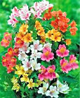 20 PERUVIAN LILY MIX Alstroemeria Dr Salters Flower Seeds Comb S H
