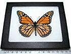 REAL ORANGE BLACK MONARCH DANAUS PLEXIPUS VERSO FRAMED BUTTERFLY INSECT