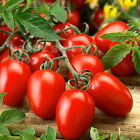 TOMATO RED - RED PLUM - F1 Premium Quality 50+ seeds determinate bush