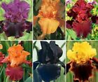 LOT 10 FRESH SPROUTED PARTY EXPLOSION MIXED BEARDED IRIS RHIZOME BULBS