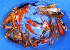 11 Lot Assorted 2 4 Standard Fin Live Koi Fish A Quality for Pond Garden PKF