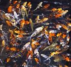 12 Lot Assorted 3 4 Standard Fin Live Koi Fish With Overnight Shipping PKF