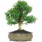 Harland Boxwood Bonsai Tree New Free Shipping
