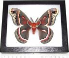 REAL FRAMED HYALOPHORA CECROPIA MOTH SATURNIIDAE MALE USA