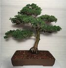 Juniper chinensis Shimpaku Informal Upright Bonsai Tree Specimen Large