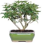 Brussels Bonsai Dwarf Hawaiian Umbrella Tree TAXSHIP FREE