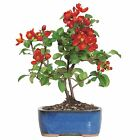 Brussels Bonsai Japanese Red Quince