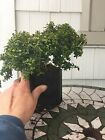 6 Tall Pre Bonsai Kingsville Boxwood