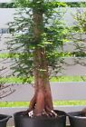 PRE BONSAI BALD CYPRESS 711 ESTABLISHED IN POT SHOWN LAST YEAR