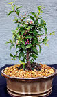 BARBADOS CHERRY BONSAI TREE DWARF IN BLOOM AND WILL FRUIT