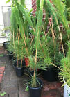 10 x Japanese Black Pine Pinus Thunbergii Seedling 22 to 30 Bonsai Landscape