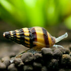 10 Assassin Snails Live Freshwater Aquarium Snail/ whelk