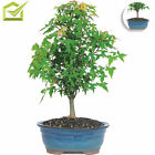 Trident Maple Bonsai Tree Home Garden Plants Outdoor Living Yard Quick Growth