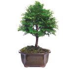 Brussels Hinoki Cypress Bonsai Medium Outdoor