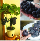 ORGANIC  SWEET MAMMOTH GRAPE  WILD  RARE  100 FRESH SEEDS