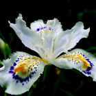 Japanese Iris Japonica Orchid Seed White Iris Orchid Flower Seed 100Pcs