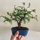 bonsai tree Chinese Elm shohin 16 cm tall plant in best Japanese soil