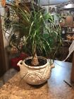 Ponytail Palm Bonsai Live Houseplant Patio Container Indoor Tree 22H