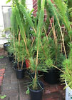 20 x Japanese Black Pine Pinus Thunbergii Seedling 22 to 30 Bonsai Landscape