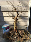 Japanese Trident Maple Pre Bonsai Tree Stock Acer buergerianum