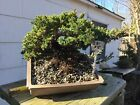 Bonsai Japanese Dwarf Juniper in plastic rectangle bonsai container