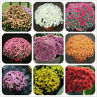 100 Pcs Ground cover Chrysanthemum Seeds Perennial Daisy Flower Seeds Mix Color