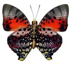 ONE REAL BUTTERFLY RED PINK CHARAXES ZINGHA VERSO AFRICA UNMOUNTED WINGS CLOSED