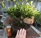 Bonsai red flowering Japanese Quince