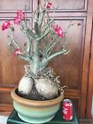 Adenium desert rose bonsai plant Old Specimen From Ancient collection