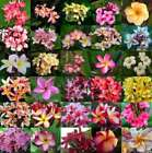 Plumeria Seeds Mixed 50 Very FRESH Nice Mix Great Colors FREEShipping USA Seller