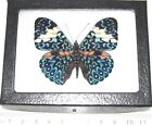 REAL FRAMED BUTTERFLY BLUE WHITE HAMADRYAS AMPHINOME PERU