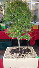 New Offering NIA smallest of leaves Boxwood family bonsai tree