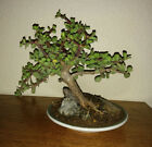 Unique Jade Bonsai Tree Portulacaria Afra Indoor or Outdoor Bonsai W Circle Pot
