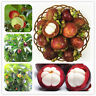 New Family Tree Purple Clusiaceae Garcinia Mangostana Seeds Evergreen Mangosteen