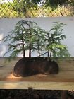 Dawn Redwood metasequoia bonsai Forest 16 Tall Planted In The Best Soil