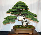 100 Juniper Bonsai Tree Potted Flowers Office Home Air Purify Absorb Harmful Gas