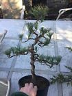 Pre Bonsai Trained Eastern White Pine Second Wiring 38Tall