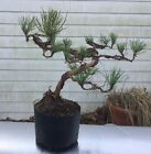 Pre Bonsai Trained Pitch Pine Second Wiring Native 16  Tall