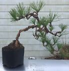 Pre Bonsai Trained Pitch Pine Second Wiring Native 15tall