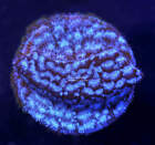 **FAST GROWING** Blueberry Leptastrea  live coral - Corals of Eden