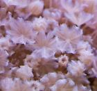 Pink Pulsing Xenia Live Coral Frag REEF Zonthids Anemone Acropora SPS LPS