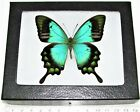 REAL FRAMED BUTTERFLY BLUE GREEN PAPILIO LORQUINIANUS PAPUA NEW GUINEA