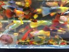 10 Assorted Guppy male