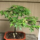 KiyoHime Japanese Maple Bonsai