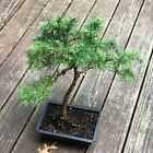 Japanese Larch Bonsai