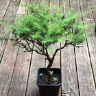 Japanese Larch Bonsai Starter