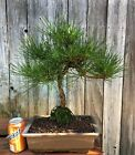 Black pine bonsai