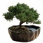 Juniper Bonsai Live Houseplant Tree Plant Indoor Garden Yard Home