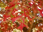 Scarlet Oak tree seed ling 2nd year bonsai shade quercus coccinea red color 24